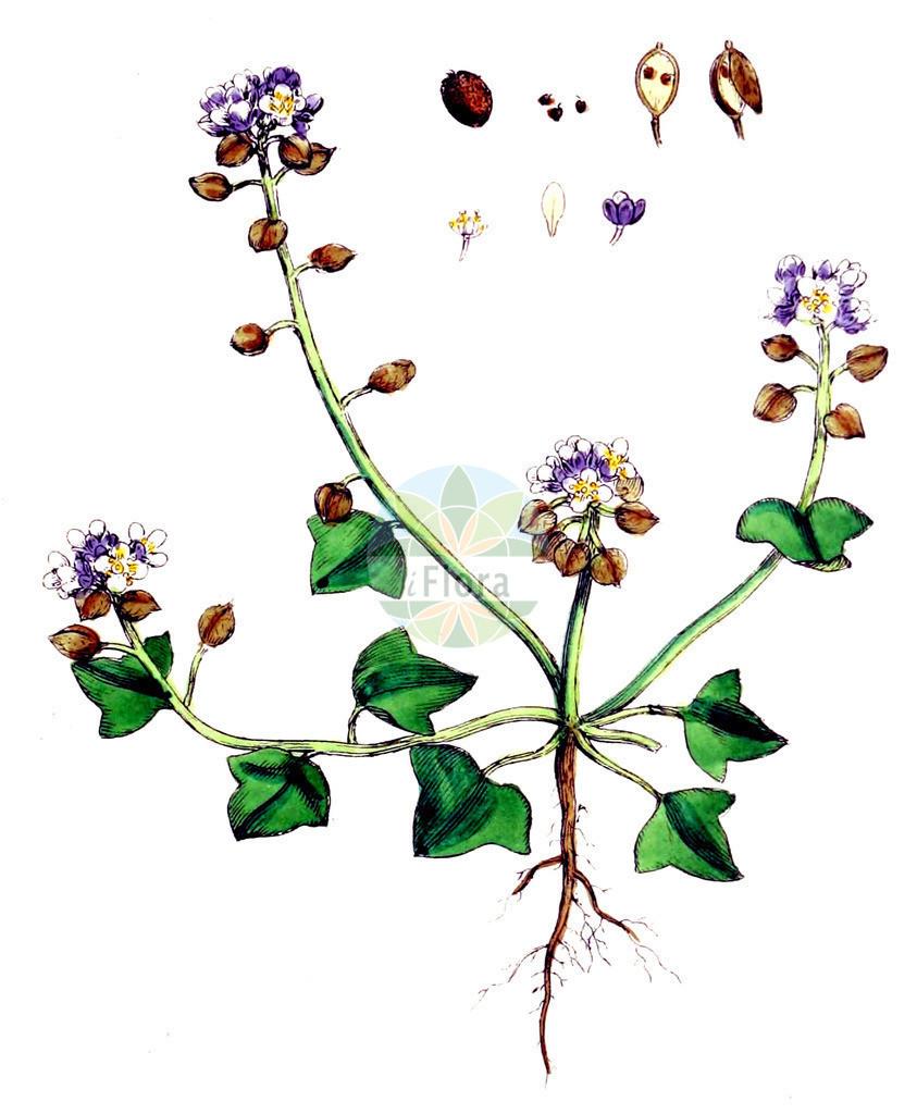Cochlearia danica (Daenisches Loeffelkraut - Danish Scurvygrass) | Historische Abbildung von Cochlearia danica (Daenisches Loeffelkraut - Danish Scurvygrass). Das Bild zeigt Blatt, Bluete, Frucht und Same. ---- Historical Drawing of Cochlearia danica (Daenisches Loeffelkraut - Danish Scurvygrass).The image is showing leaf, flower, fruit and seed.