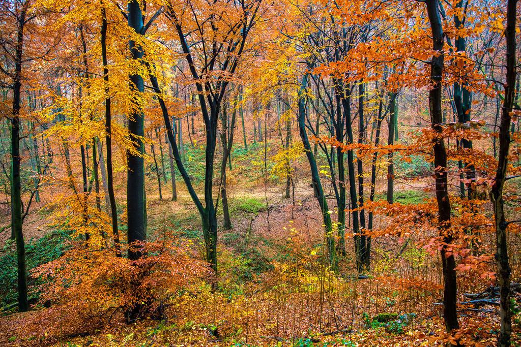 JT-121118-010 | Herbstlicher Wald, Buchen Bäume,