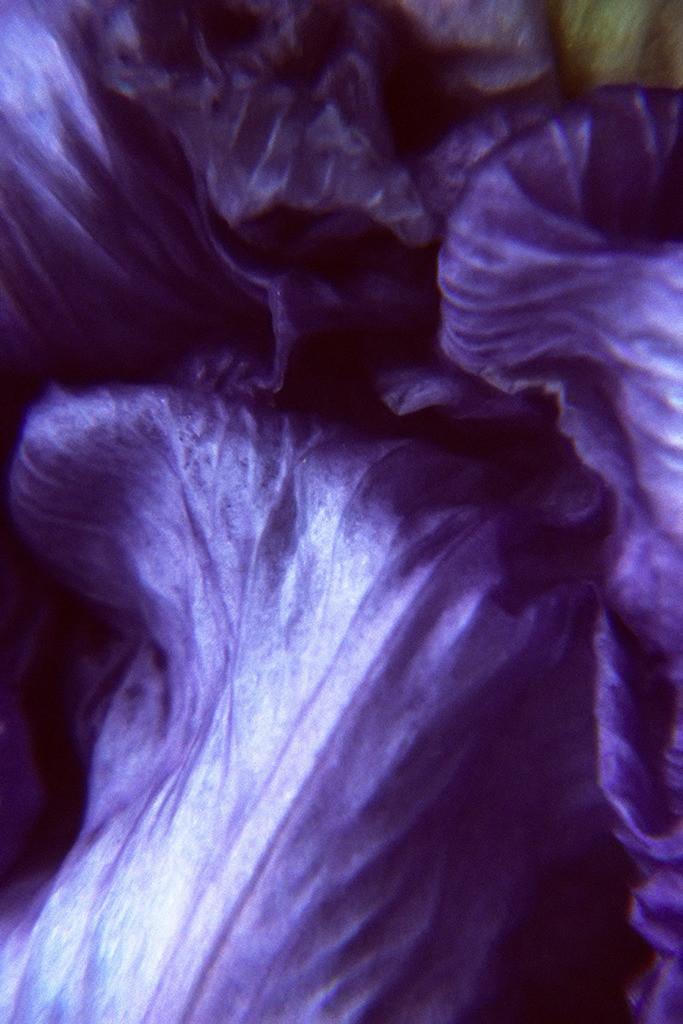 Pflanzenwelten   Triptychon Iris I - 3   Best. Nr. schwertlilie0038   Makro-Blumenportrait einer verblühten Schwertlilienblüte