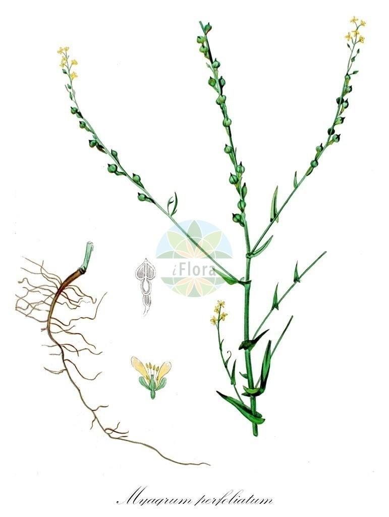 Historical drawing of Myagrum perfoliatum (Mitre Cress)   Historical drawing of Myagrum perfoliatum (Mitre Cress) showing leaf, flower, fruit, seed