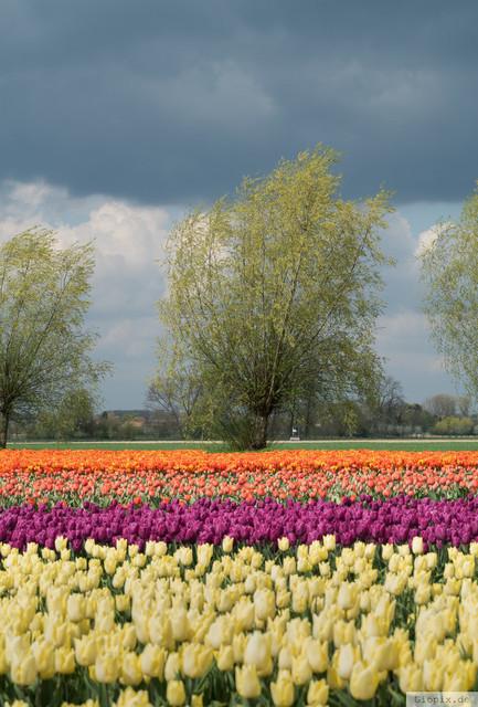 Tulpenfeld bei Glehn | Tulpenfeld zwischen Glehn und Kleinenbroich im Frühling