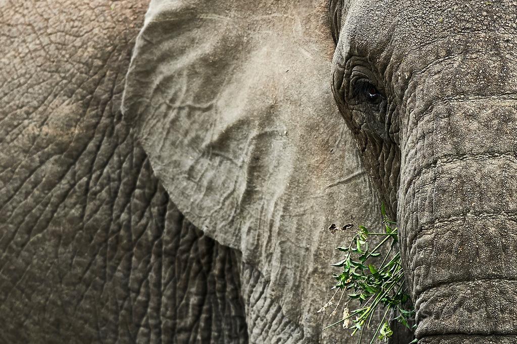 Elefantenportrait | Ein Portrait des sanften Riesen, dem Afrikanischen Elefanten.