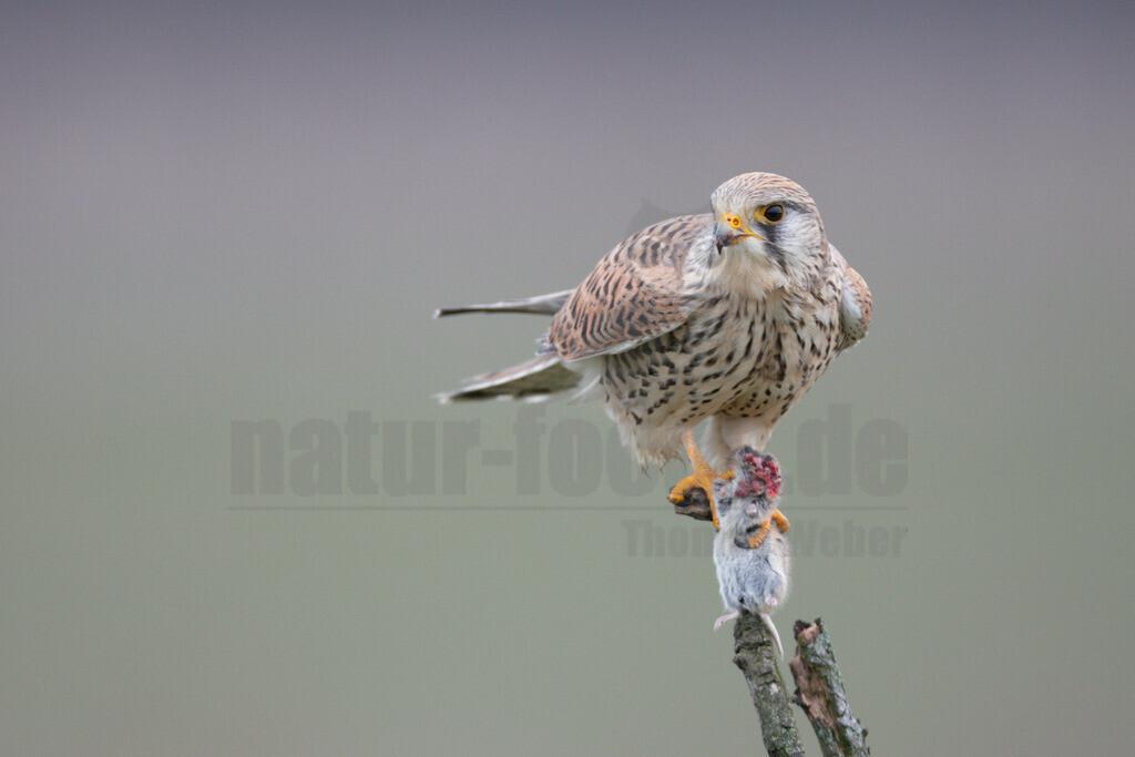 20200111-663A6800 |  Tiere & Pflanzen Aktionen & Projekte Vogel des Jahres 2007 - Turmfalke Der Turmfalke Vogel des Jahres 2007 Der Turmfalke bevorzugt hochgelegene Brutplätze. Auf diese Vorliebe ist wohl auch sein Name zurückzuführen. Der wissenschaftliche Name Tinnunculus bedeutet