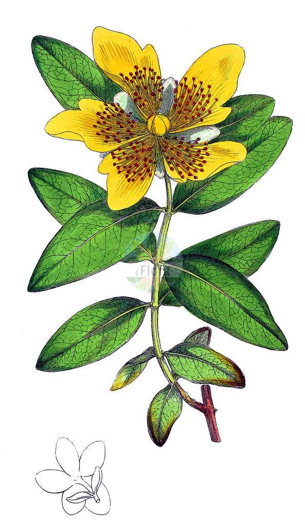 Hypericum calycinum | Historische Abbildung von Hypericum calycinum. Das Bild zeigt Blatt, Bluete, Frucht und Same. ---- Historical Drawing of Hypericum calycinum.The image is showing leaf, flower, fruit and seed.