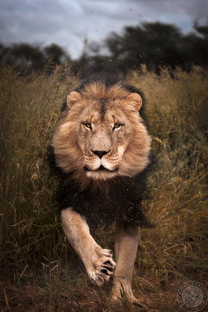 Löwe im Angriff