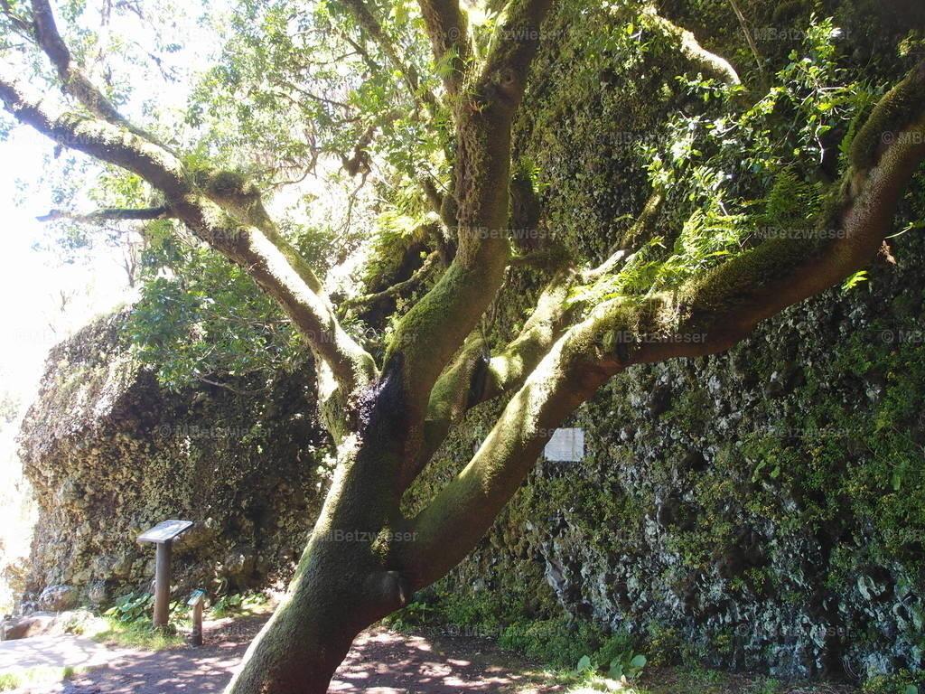 P5075665   Garoe - der Wasser-spendende Baum