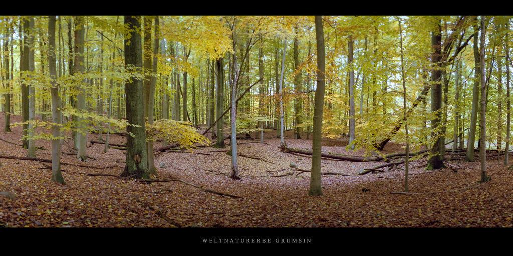 Weltnaturerbe Grumsin | Buchen im Weltnaturerbe Buchenwald Grumsin