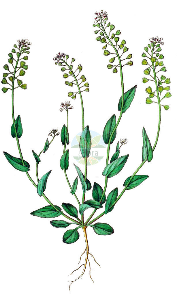 Microthlaspi perfoliatum (Staengelumfassendes Hellerkraut - Perfoliate Penny-cress) | Historische Abbildung von Microthlaspi perfoliatum (Staengelumfassendes Hellerkraut - Perfoliate Penny-cress). Das Bild zeigt Blatt, Bluete, Frucht und Same. ---- Historical Drawing of Microthlaspi perfoliatum (Staengelumfassendes Hellerkraut - Perfoliate Penny-cress).The image is showing leaf, flower, fruit and seed.