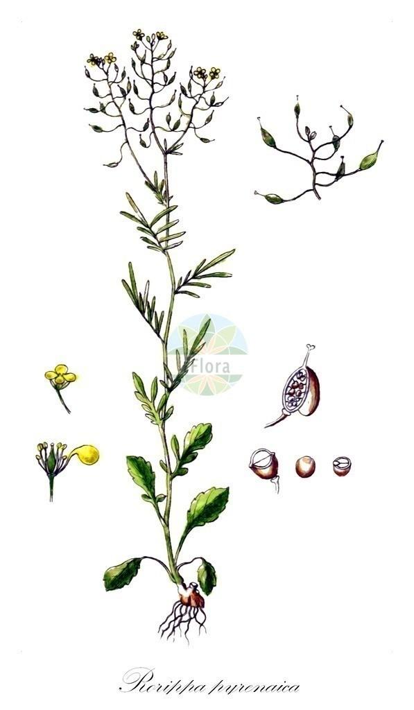 Historical drawing of Rorippa pyrenaica (Pyrenean Yellowcress) | Historical drawing of Rorippa pyrenaica (Pyrenean Yellowcress) showing leaf, flower, fruit, seed
