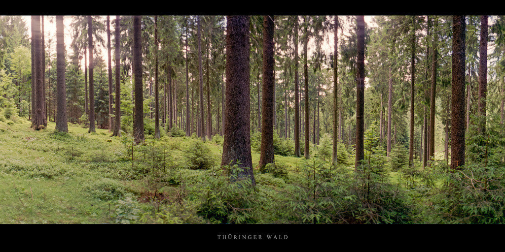 Thüringer Wald | Fichtenwald im Thüringer Wald