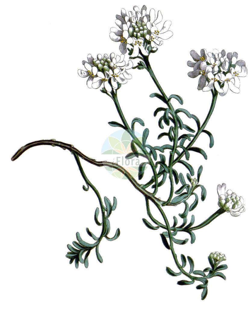 Iberis saxatilis | Historische Abbildung von Iberis saxatilis. Das Bild zeigt Blatt, Bluete, Frucht und Same. ---- Historical Drawing of Iberis saxatilis.The image is showing leaf, flower, fruit and seed.