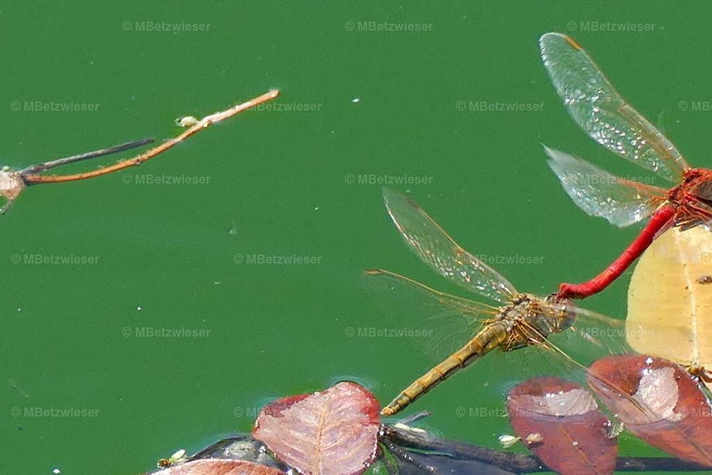 P1000859 | Zwei Libellen beim Spiel