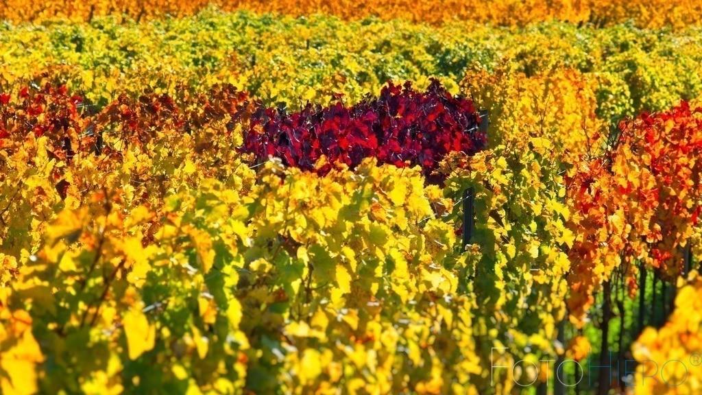Bunt gefährbte Weinstöcke im Herbst   buntes Weinlaub im Herbst