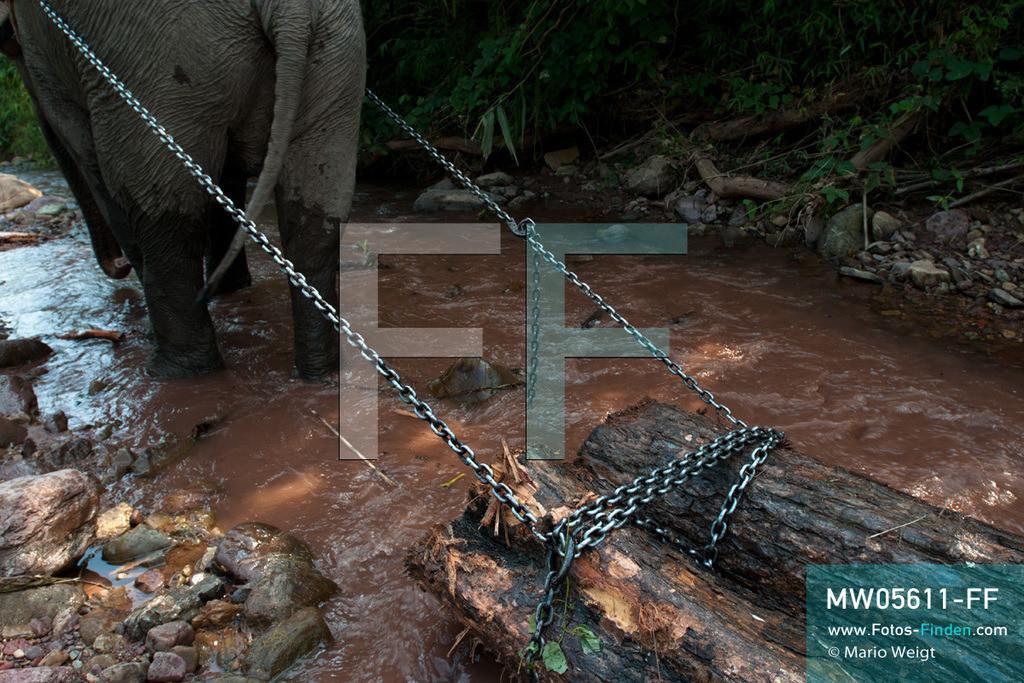 MW05611-FF   Laos   Provinz Sayaboury   Reportage: Arbeitselefanten in Laos   Arbeitselefant zieht Baumstämme aus dem Dschungel. Lane Xang -