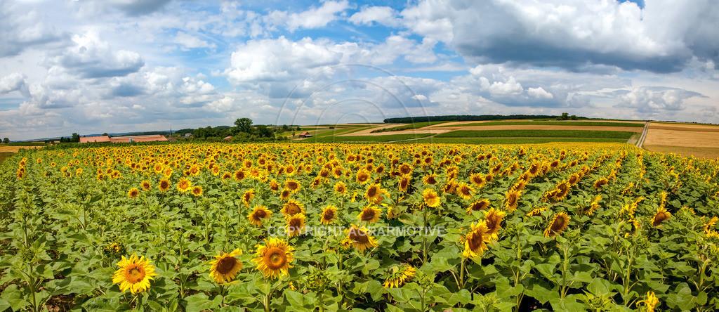 20090711-IMG_3669-69 | blühende Sonnenblumen im Sommer - AGRARMOTIVE Bilder aus der Landwirtschaft