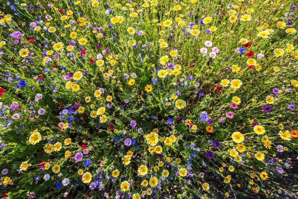 JT-130814-308 | Wilde Blumenwiese mit vielen verschiedenen bunten Blumen und Pflanzen.