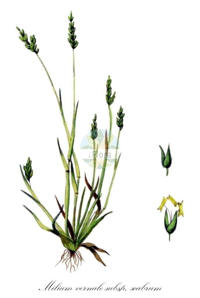 Historical drawing of Milium vernale subsp. scabrum (Milletgrass) | Historical drawing of Milium vernale subsp. scabrum (Milletgrass) showing leaf, flower, fruit, seed