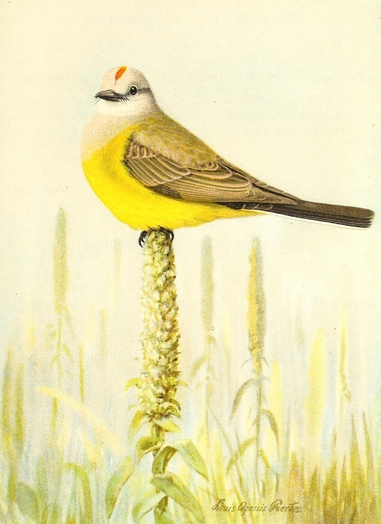 Fuertes_ L.A. (1874-1927) - Birds of California 1893 - Arkansas Kingbird