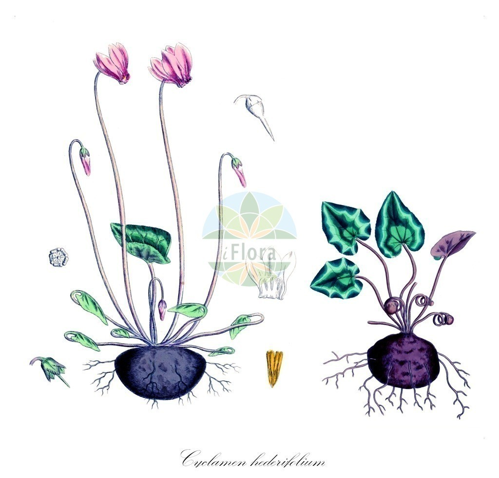 Historical drawing of Cyclamen hederifolium (Sowbread) | Historical drawing of Cyclamen hederifolium (Sowbread) showing leaf, flower, fruit, seed