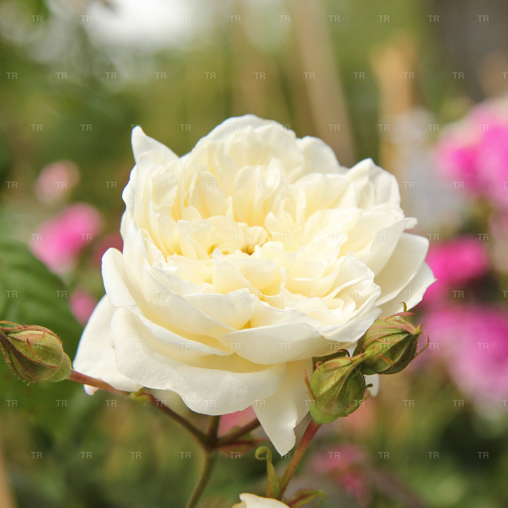 Rosa 'Perpetually Yours' ® - Kletterrose | - Englische Rose