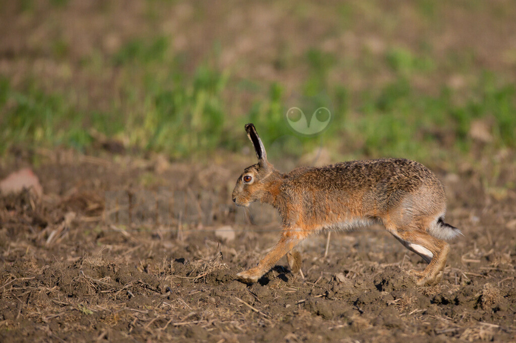 20140503_074117-2  | Der Feldhase ist ein Säugetier aus der Familie der Hasen. Die Art besiedelt offene und halboffene Landschaften. Das natürliche Verbreitungsgebiet umfasst weite Teile der südwestlichen Paläarktis; durch zahlreiche Einbürgerungen kommt der Feldhase heute jedoch auf fast allen Kontinenten vor.