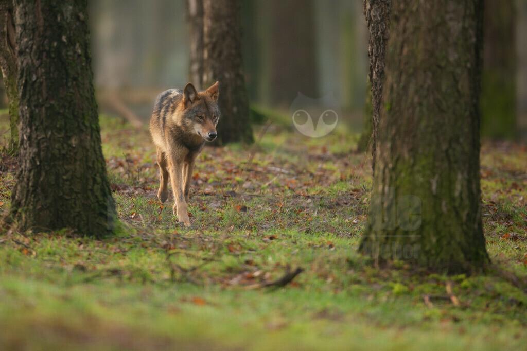 20200126-IMG_6792 | Wölfe sind sehr anpassungsfähig und bewohnen die unterschiedlichsten Gegenden, von den arktischen Tundren bis zu den Wüsten Nordamerikas und Zentralasiens. Einst war der Wolf eines der am weitesten verbreiteten Säugetierarten der Welt.