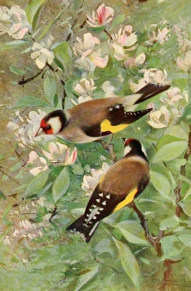 Kuhnert_ F.W. (1865-1926) - Wild Life of the World 1916 - Goldfinch