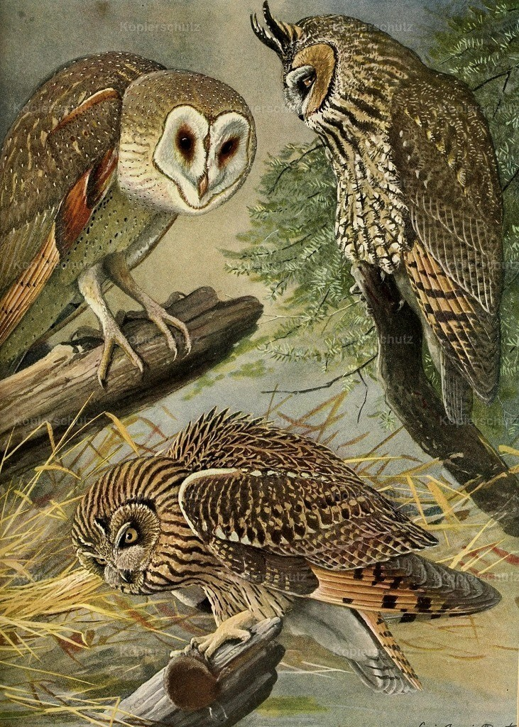 Fuertes_ L.A. (1874-1927) - Birds of Massachusetts 1925 - Owls