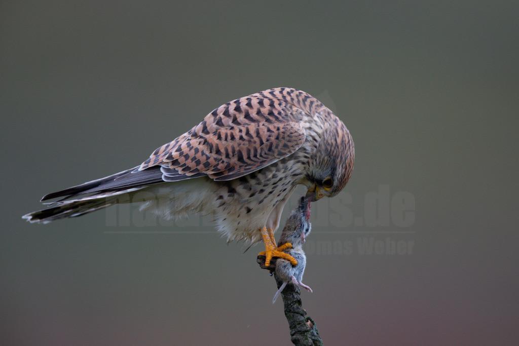 20200111-663A6849 |  Tiere & Pflanzen Aktionen & Projekte Vogel des Jahres 2007 - Turmfalke Der Turmfalke Vogel des Jahres 2007 Der Turmfalke bevorzugt hochgelegene Brutplätze. Auf diese Vorliebe ist wohl auch sein Name zurückzuführen. Der wissenschaftliche Name Tinnunculus bedeutet