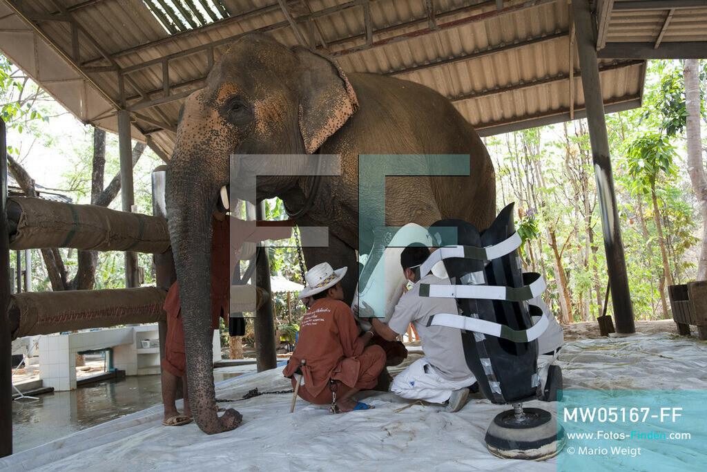 MW05167-FF | Thailand | Lampang | Reportage: Krankenhaus für Elefanten | Angestellte von Prostheses Foundation und Tierpfleger passen die neue Prothese am Bein der Elefantenkuh Motala an.    ** Feindaten bitte anfragen bei Mario Weigt Photography, info@asia-stories.com **