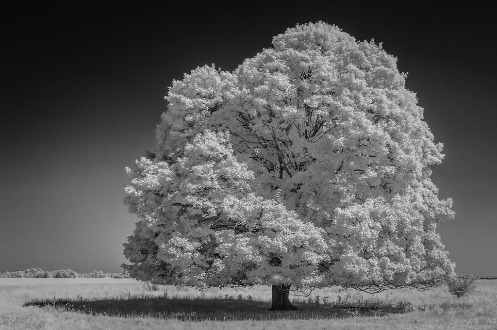 Grande Dame Infrarot | Infrarotfotografie mit speziell umgerüsteter Kamera macht aus grünem Laub weißes und dunkelt Himmel ab. So entstehen wunderschöne Kontraste.