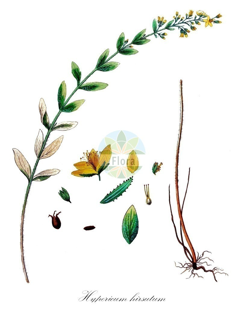Historical drawing of Hypericum hirsutum (Hairy St John's-wo   Historical drawing of Hypericum hirsutum (Hairy St John's-wort) showing leaf, flower, fruit, s