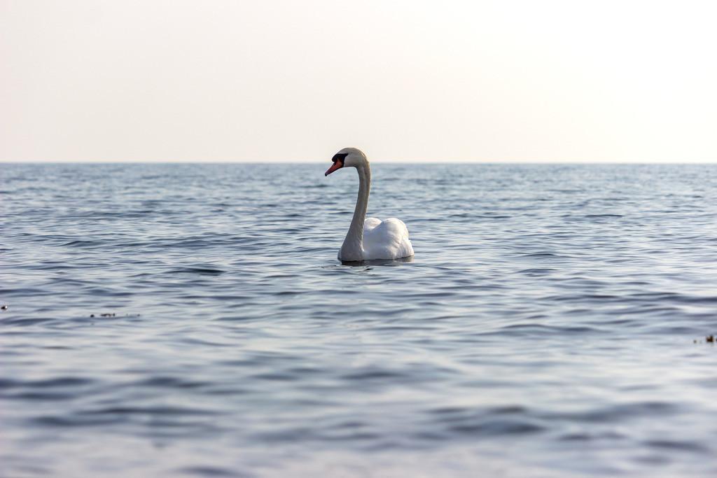 Strand in Hökholz | Schwan auf der Ostsee