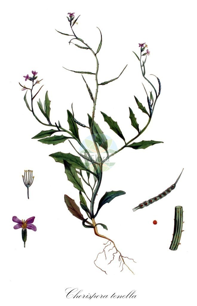 Historical drawing of Chorispora tenella | Historical drawing of Chorispora tenella showing leaf, flower, fruit, seed