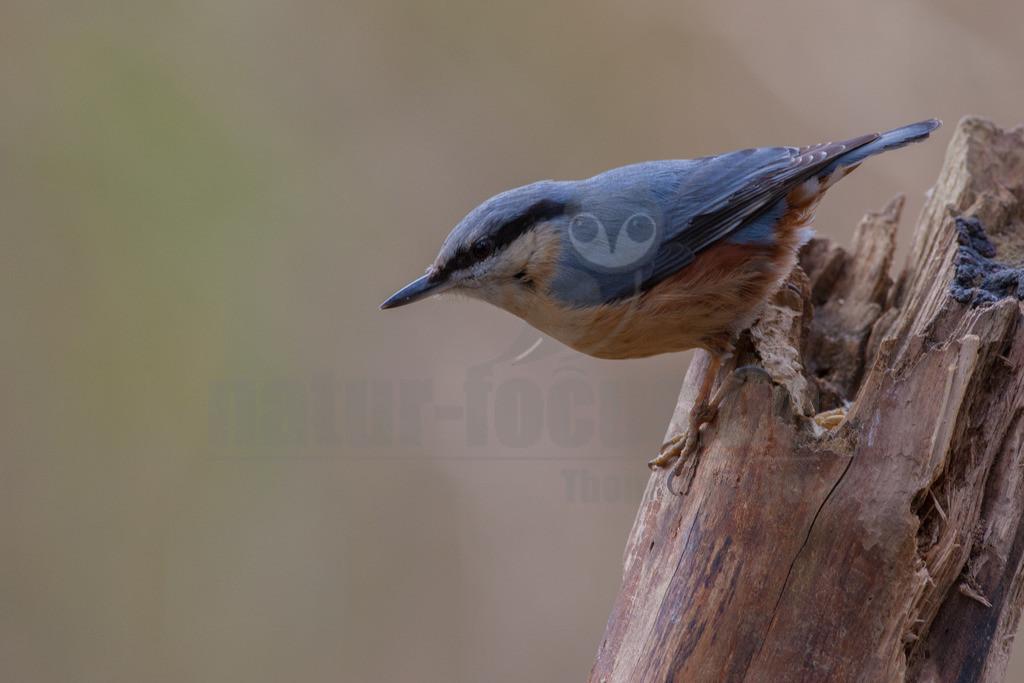 20080315_14031516309 | Der Kleiber ist ein kleiner, kompakter Vogel, der geschickt an Baumstämmen und Ästen auf und ab klettern kann. Hier sucht er nach Insekten, die sich in den Ritzen der Borke verstecken oder auf Blättern zu finden sind. Er kann sogar kopfabwärts klettern.