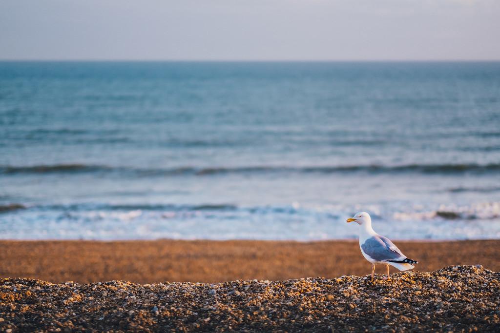 Brighton | Möwe am Steinstrand, Brighton, England
