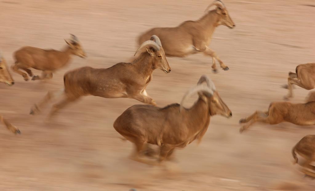 Desert Island | Berber Schafe, Ammotragus lervia, Privates Tierreservart mit ¸über 10000 Steppentieren, Sir Bani Yas, Insel im persischen Golf, gehört zu den Desert Island bei Abu Dhabi, Vereinigte Arabische Emirate.
