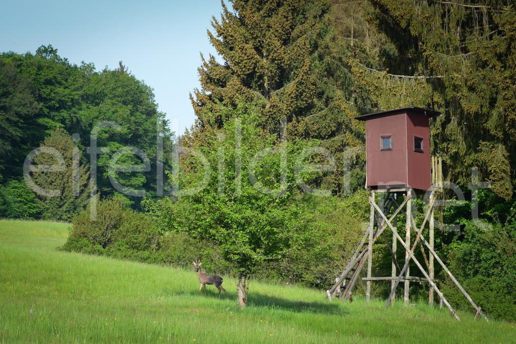 Rehbock an einem Hochsitz | fotografiert in Daun Weiersbach