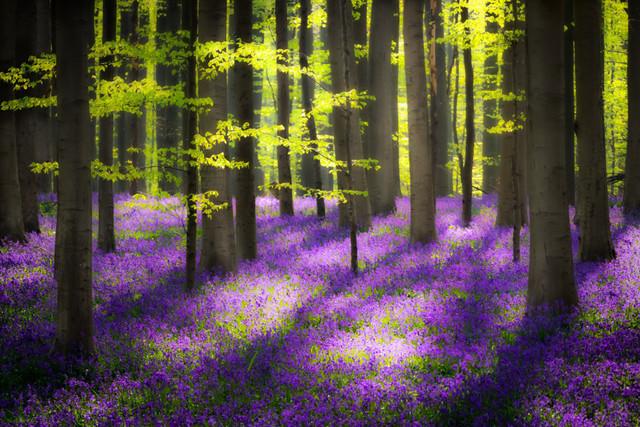 Licht im Zauberwald | Im Hallerbos fühlt man sich in eine Fantasy-Welt versetzt. Auch wenn ich keinen Elfen begegnet bin, läuft das Kopfkino weiter. Ein Märchen aus Farben und Licht.
