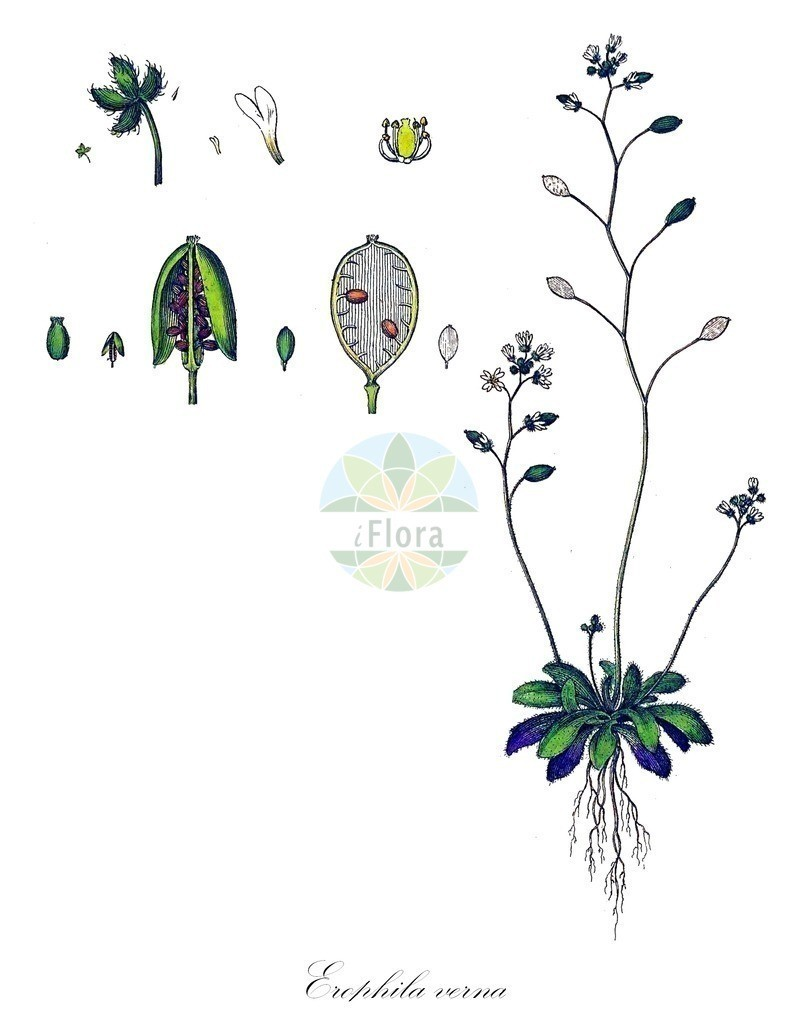 Historical drawing of Erophila verna (Common Whitlowgrass) | Historical drawing of Erophila verna (Common Whitlowgrass) showing leaf, flower, fruit, seed