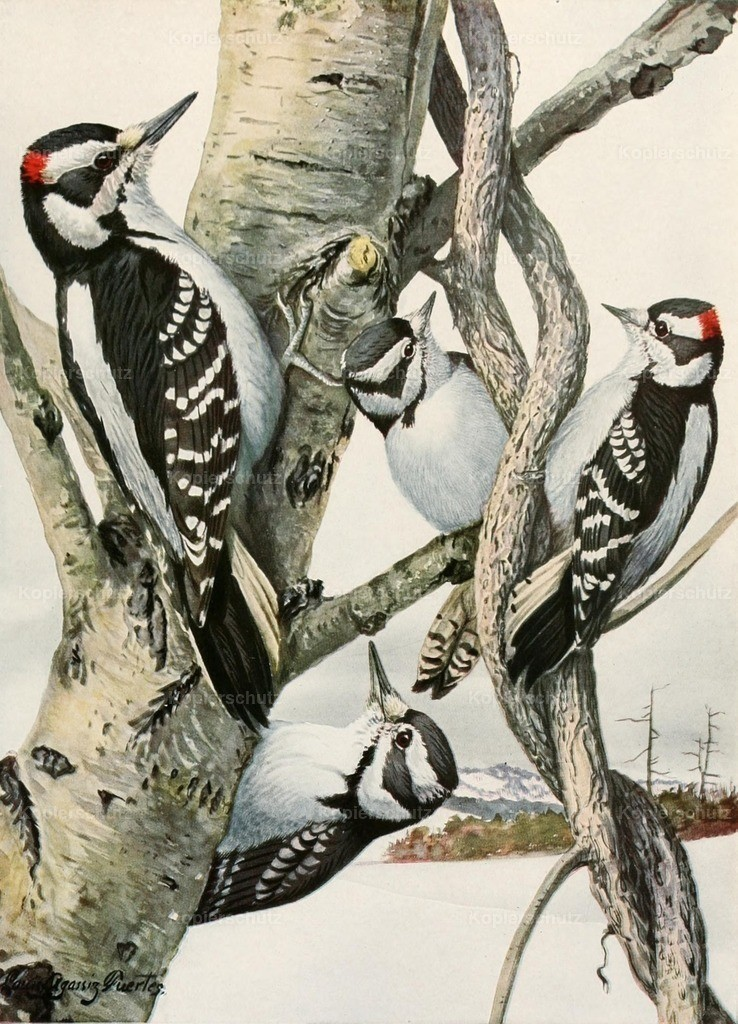 Fuertes_ L.A. (1874-1927) - Birds of America 1923 - Woodpeckers