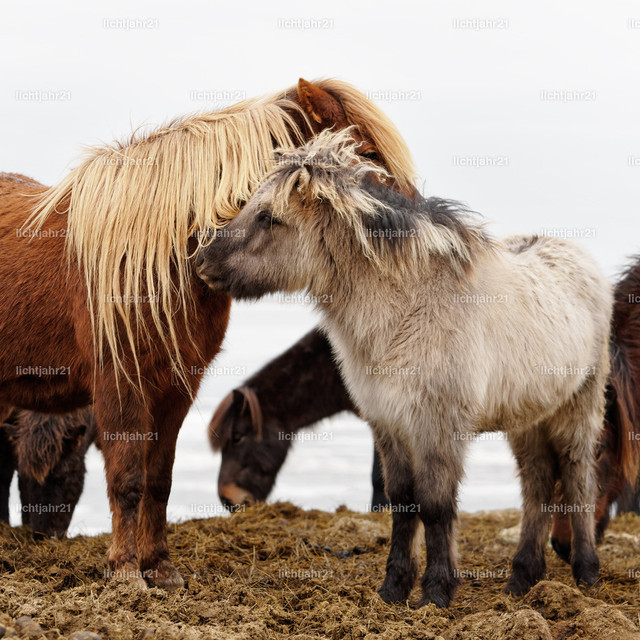 Islandpferde | Nahaufnahme einer Gruppe Islandpferde vor einem hellen Hintergrund, eines der Tiere ist ein Fohlen, es schmiegt seinen Kopf an an ein erwachsenes Tier - Location: Island