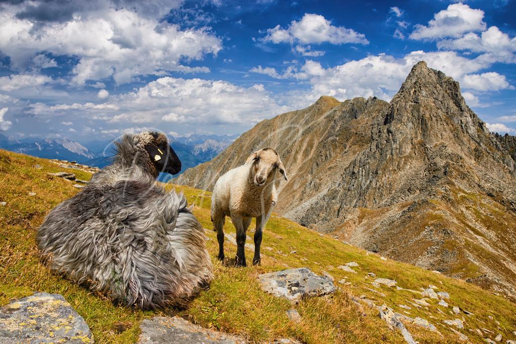 Weißstein | Schafe mit dem Gipfel des Weißsteins im Hintergrund