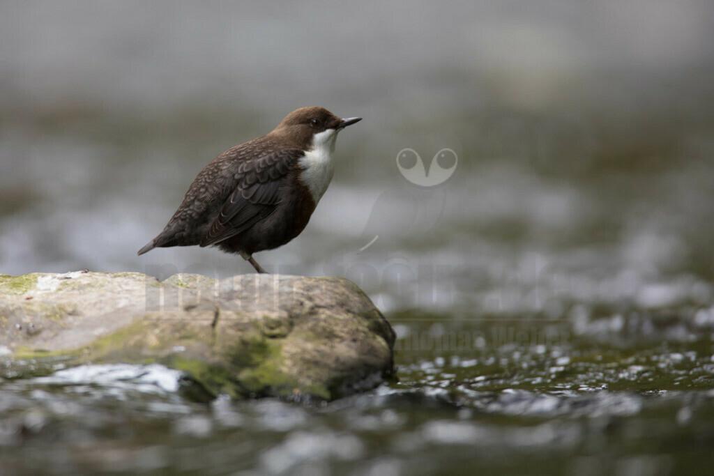 20180909-663A0506 Kopie | Die Wasseramsel oder Eurasische Wasseramsel ist die einzige auch in Mitteleuropa vorkommende Vertreterin der Familie der Wasseramseln. Der etwa starengroße, rundlich wirkende Singvogel ist eng an das Leben entlang schnellfließender, klarer Gewässer gebunden.