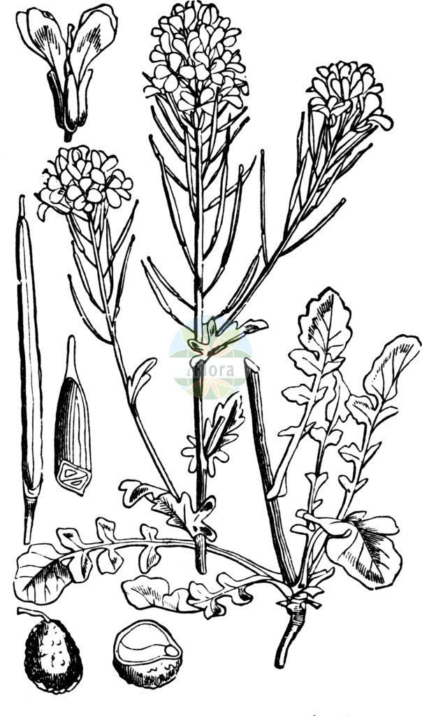 Barbarea vulgaris agg. (Gewoehnliches Barbarakraut - Winter-cress) | Historische Abbildung von Barbarea vulgaris agg. (Gewoehnliches Barbarakraut - Winter-cress). Das Bild zeigt Blatt, Bluete, Frucht und Same. ---- Historical Drawing of Barbarea vulgaris agg. (Gewoehnliches Barbarakraut - Winter-cress).The image is showing leaf, flower, fruit and seed.