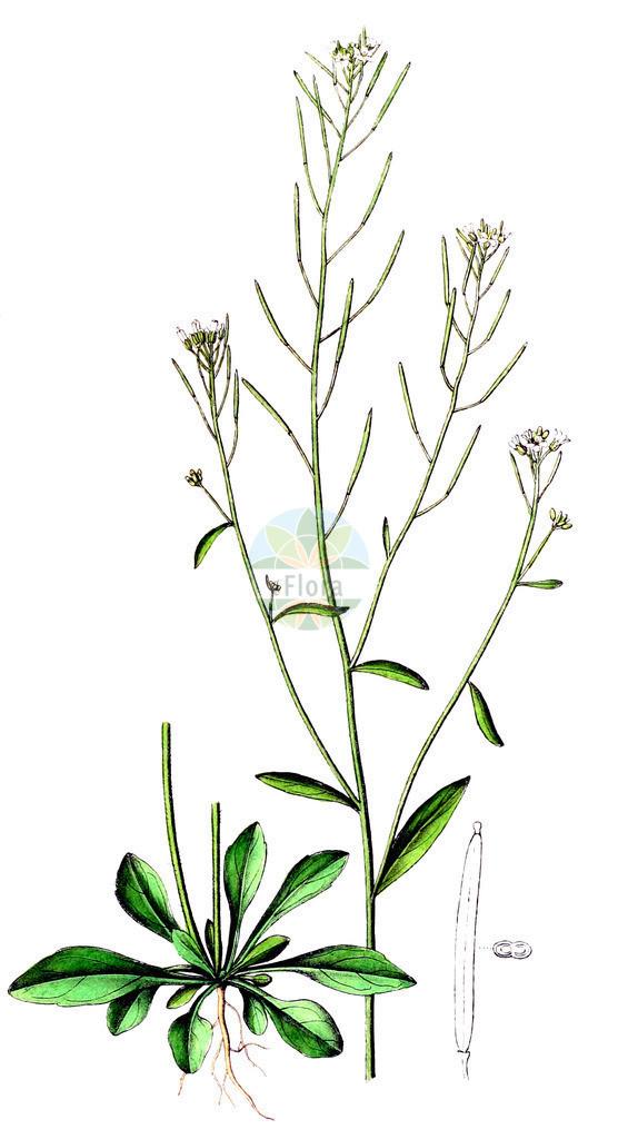 Arabidopsis thaliana (Acker-Schmalwand - Thale Cress)   Historische Abbildung von Arabidopsis thaliana (Acker-Schmalwand - Thale Cress). Das Bild zeigt Blatt, Bluete, Frucht und Same. ---- Historical Drawing of Arabidopsis thaliana (Acker-Schmalwand - Thale Cress).The image is showing leaf, flower, fruit and seed.