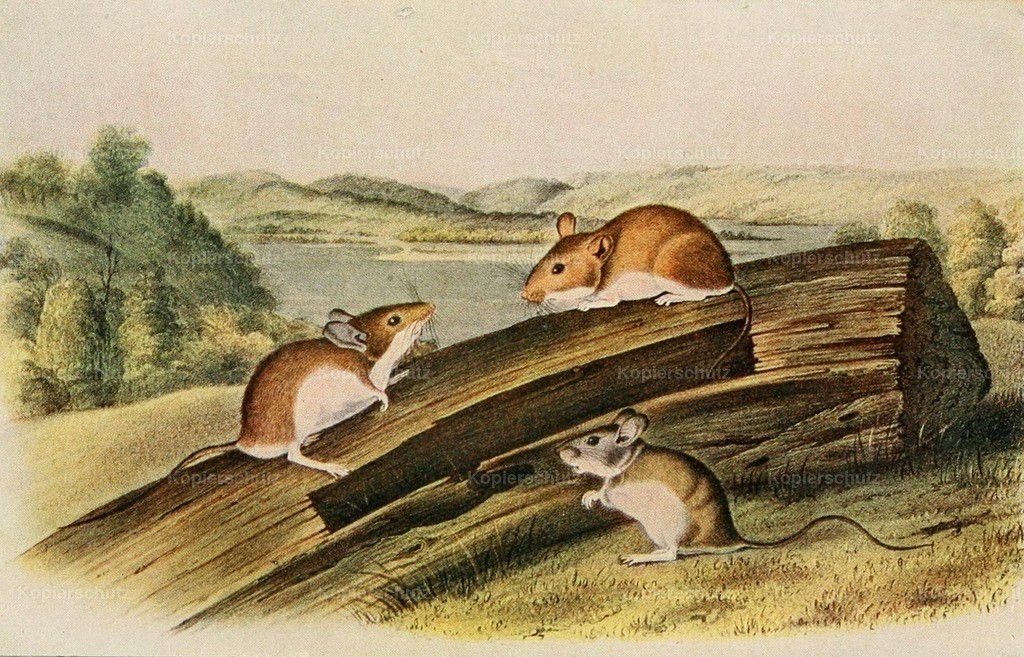Audubon_ J.J. (1785-1851) - Squirrels _ other Fur-bearers 1900 - White-footed mouse