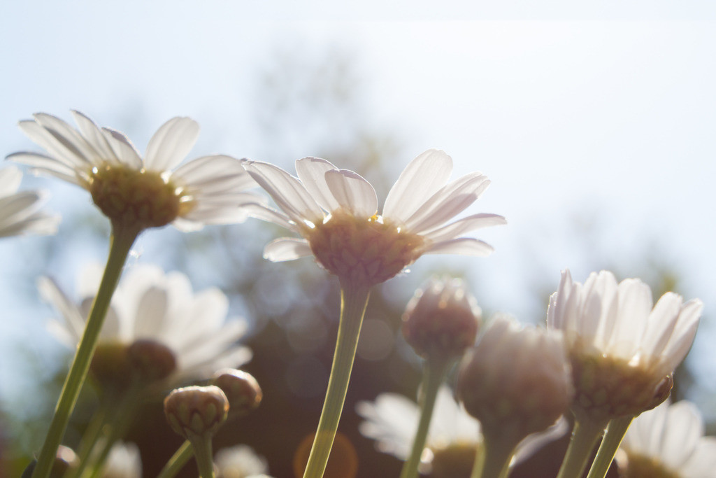 Margeriten | Blumenmotiv