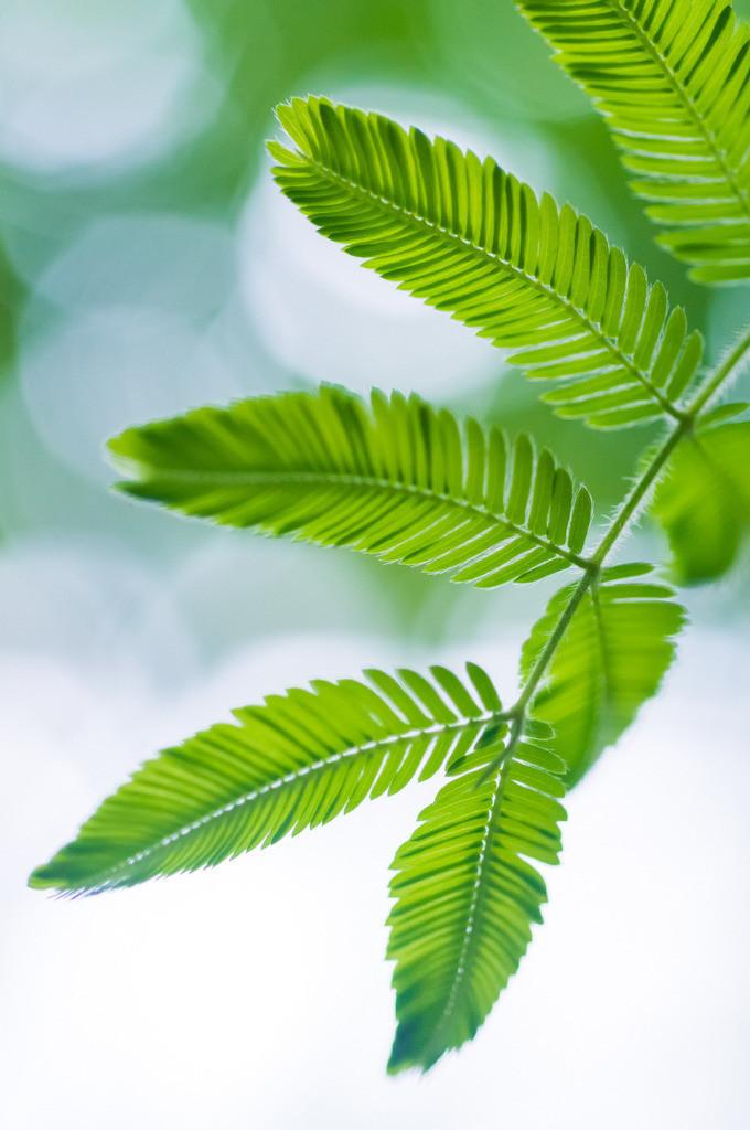 Best. Nr. BäumeGrün07   blatt einer brasilianischen Puderquaste