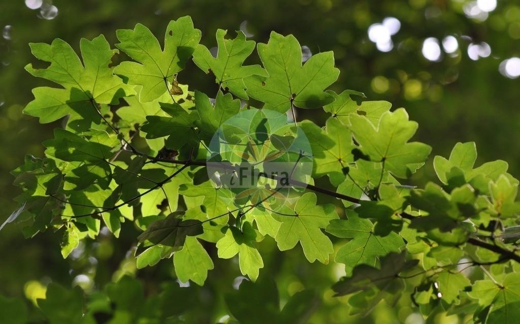 Acer campestre (Feld-Ahorn - Field Maple)   Foto von Acer campestre (Feld-Ahorn - Field Maple). Das Bild zeigt Blatt. Das Foto wurde in Eschborn, Hessen, Deutschland aufgenommen. ---- Photo of Acer campestre (Feld-Ahorn - Field Maple).The image is showing leaf.The picture was taken in Eschborn, Hesse, Germany.